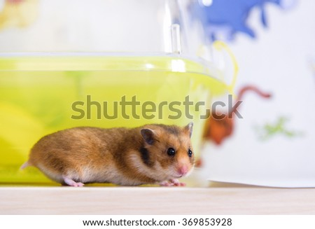 Red hamster runs near his cage - stock photo