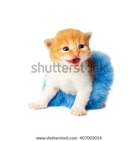 Red happy funny kitten in a blue fur tutu skirt. Cute orange kitten in a blue tutu growls, isolated at white background. Adorable sad pet. Small funny kitten. Little cat. Animal isolated. High key - stock photo