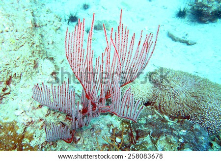 red hard coral at the coral reef of Anemone Reef, Thailand - stock photo