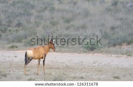 Red hartebeest (Alcalaphus caama) in the Kgalagadi transfrontier park, northern cape,south africa