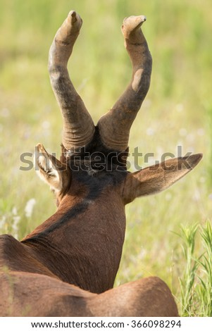 Red Hartebeest Portrait - stock photo