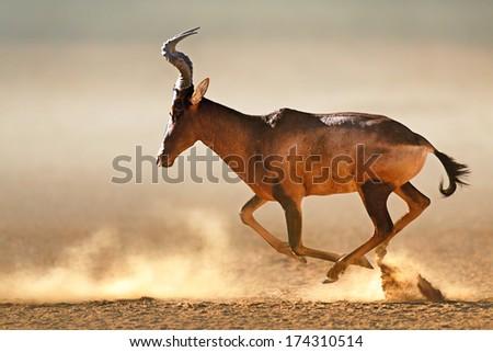 Red hartebeest running in dust - Alcelaphus caama -  Kalahari desert -  South Africa - stock photo