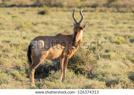 Red Hartebeest walking in the bush. Wildlife Safari in the Karoo National Park, travel destination in South Africa.