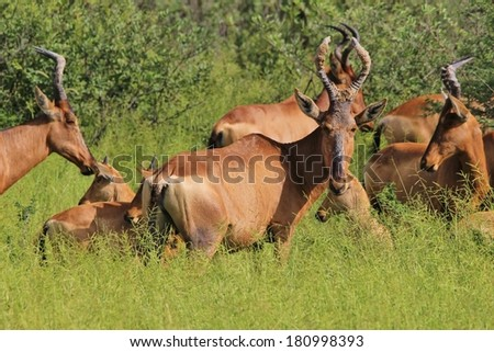 Red Hartebeest - Wildlife Background from Africa - Baby Animals and Nature's Beauty