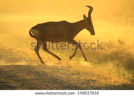 Red Hartebeest - Wildlife Background from Africa - Running Gold and Color