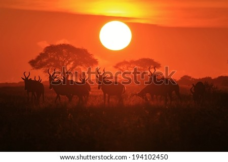 Hartebeest Stock Photos Images Pictures Shutterstock
