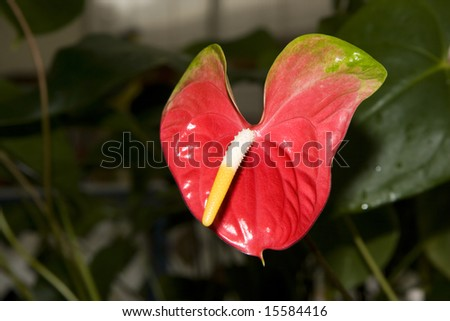 Red Hawaiian Orchid
