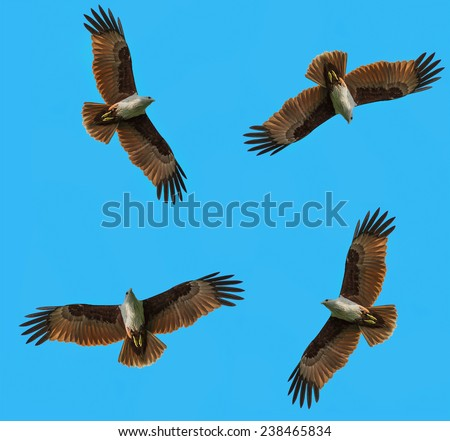 Red Hawks were resettled in the sky to hunt for food circling flock together - stock photo