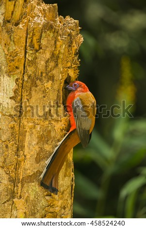 Red-headed trogon male is found on trees in natural forests.