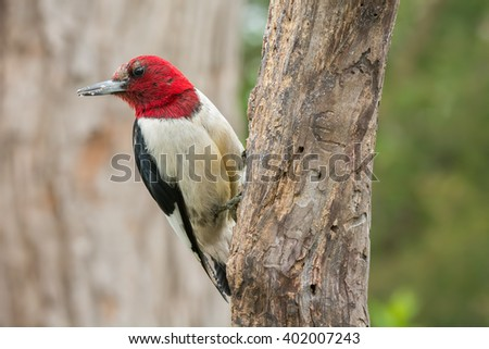 Red-headed woodpecker on a weathered old tree branch.