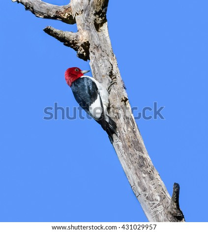Red-headed Woodpecker on Blue Sky