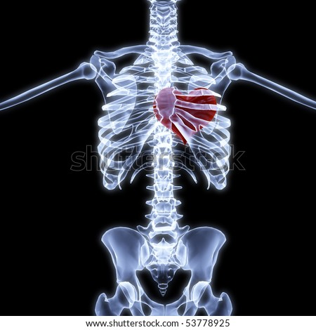 red heart inside the human skeleton