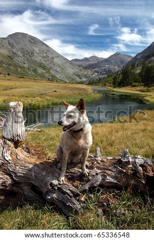 Red Heeler Australian Cattle Dog posing on fallen tree in mountain pasture, river, meadow, peaks, Summer sky behind, Emigrant Wilderness, Sierra Nevada Range, California.