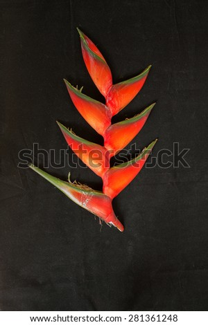 Red Heliconia bloom fresh from the Honolulu Rainforest and ready to serve as centerpiece in a jungle salad. - stock photo