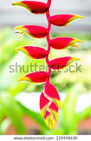 red heliconia flower in a forest. thailand  - stock photo