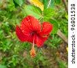 Red Hibiscus - stock photo