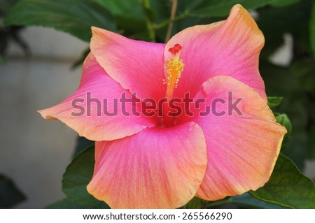 Red Hibiscus flower - stock photo