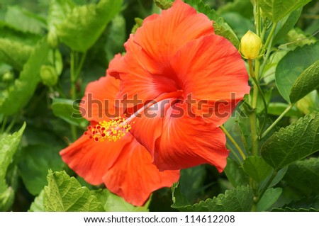 red hibiscus flower(chinese rose) - stock photo