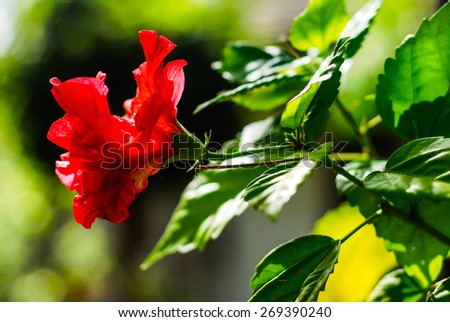 Red hibiscus flower (Hibiscus rosa-sinensis) with big green leaves on blurred background - stock photo