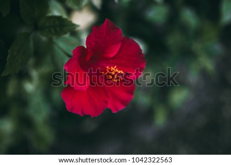 Tree mallow stock images royalty free images vectors shutterstock red hibiscus flower on green leaves background tropical garden close up view of red ccuart Image collections