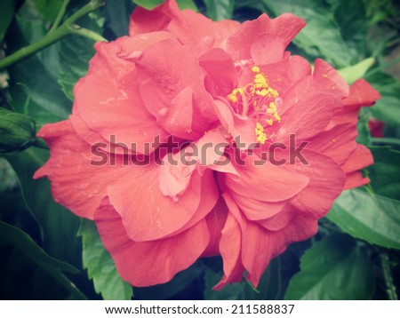 Red hibiscus flower on nature