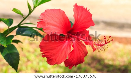 Red Hibiscus in the garden. - stock photo