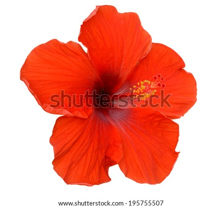 Red Hibiscus on white background