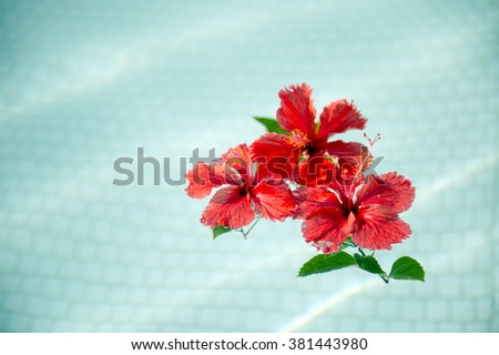 Red hibiscus that floated in the pool-6 - stock photo