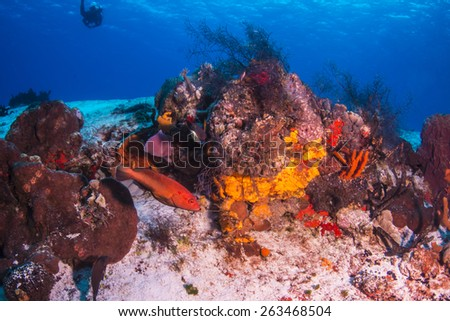 Red hind fish with diver - stock photo