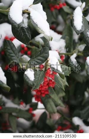 Red holly berries and green leaves with snow