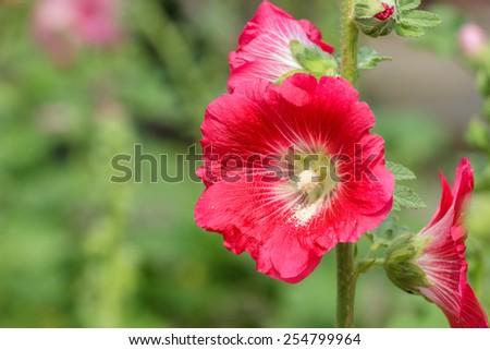 Red hollyhock flower in the garden. - stock photo