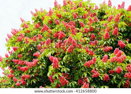 Red horse-chestnut tree with flowers