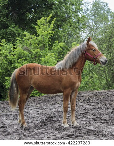 red horse in a halter standing on a gray sand on a background of green trees
