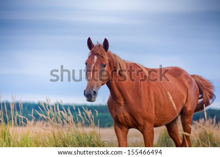 Red horse in an evening field