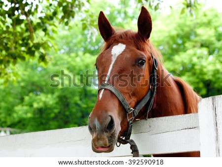 red horse muzzle of the halter over the white wooden fence on the background of bright green foliage at the track in the summer - stock photo