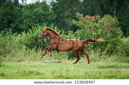 Red horse running on the meadow