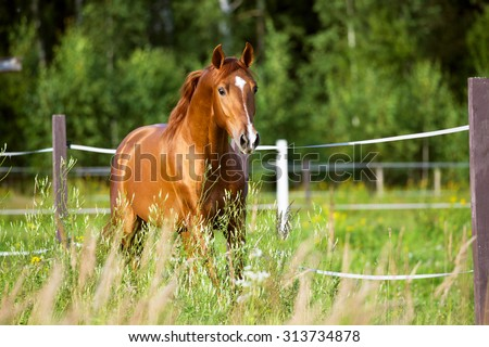 Red horse runs trot on the pasture - stock photo