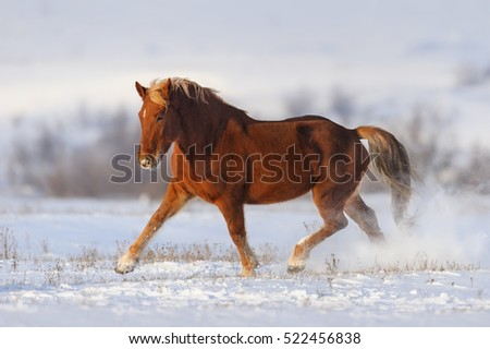 Red horse trotting in snow