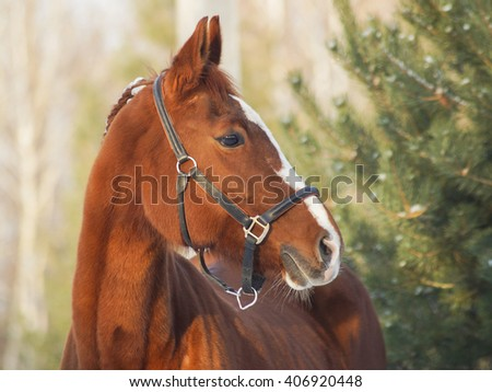 red horse with a white ribbon in mane standing on the snow
