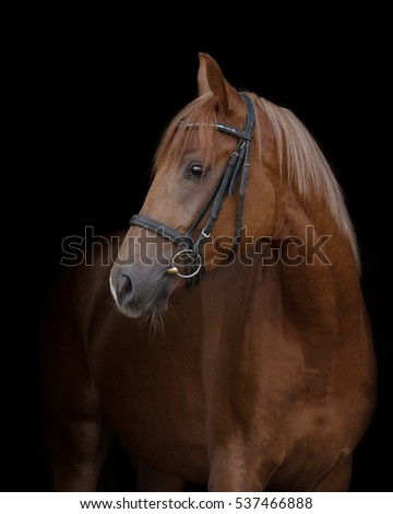 Red horse with the bridle on a black background