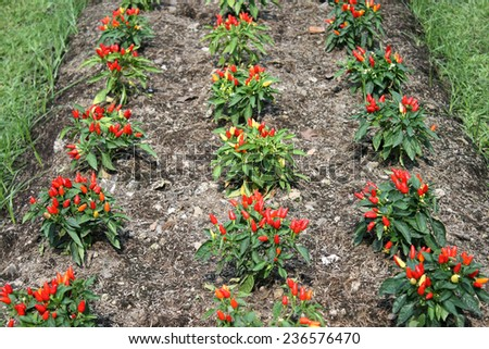 Red hot chili peppers on the tree in vegetable garden - stock photo
