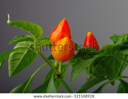 Red hot  chilli peppers as the fruit of the mother plant - stock photo