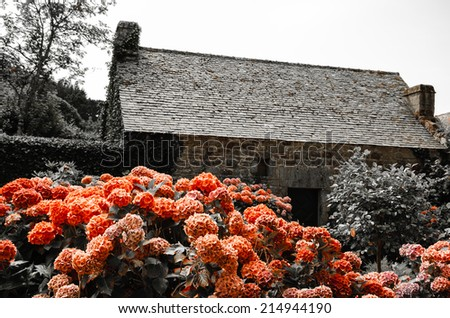 Red hydrangea bushes near old farm house. Brittany, France. Vacation at countryside background. Retro aged photo. - stock photo