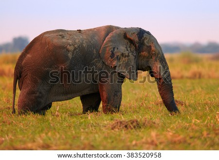 Red illuminated African elephant, Loxodonta africana africana, feeding on grass in colorful  savanna, lit by evening sun. Chobe national park, Botswana. - stock photo