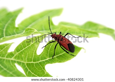 Red insect on green papaya leaf on white background