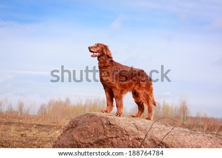 Red irish setter dog - stock photo