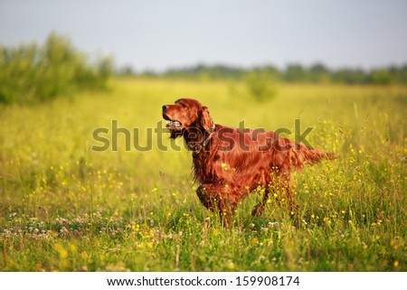 Red irish setter dog in field - stock photo