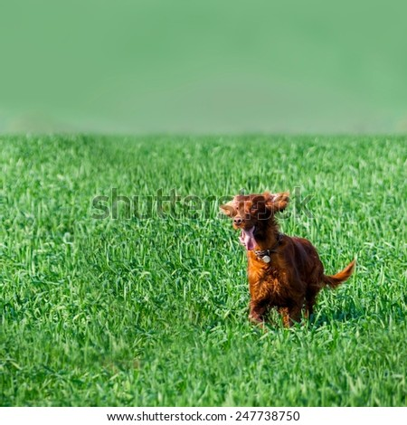 Red irish setter dog running in green field of grass - stock photo