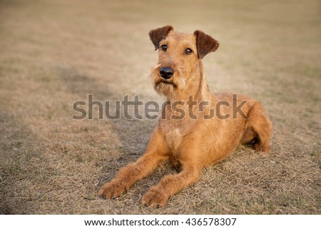 Red irish terrier, lovely friendly dog walking outdoor
