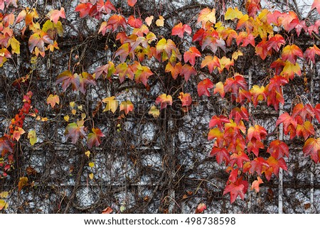 Red Ivy Creeper or Parthenocissus tricuspidata 'Veitchii' in autumn
